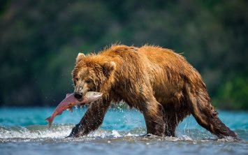 V Kamčatki rjavi medved lovi lososa v