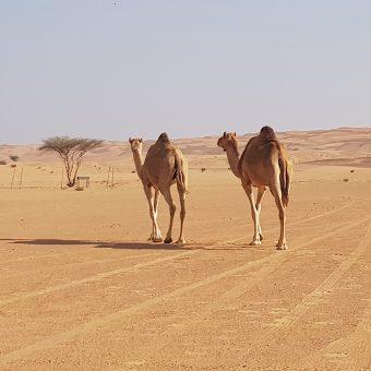 Kamele v puščavi Wahiba oziroma Sharqiya v Omanu